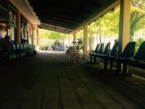 Besuch eines Schweines in der Unidad de Salud